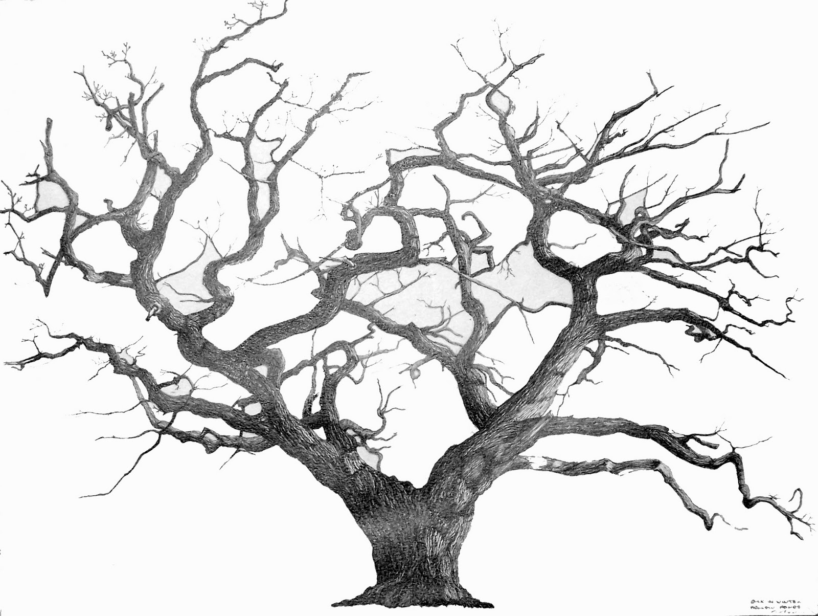 1600x1204 Black And White Oak Tree Drawing Black And White Oak Tree. Tree