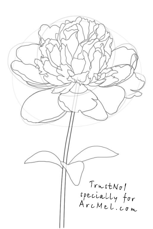 515x768 How To Draw A Peony Step By Step