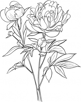 278x350 Peony Outline Clipart