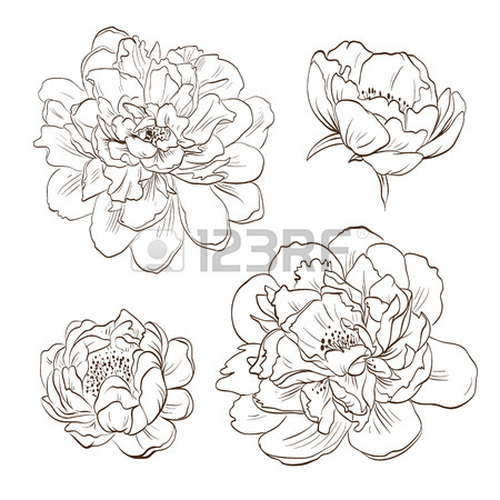 450x450 Peony Sketch Stock Photos. Royalty Free Business Images