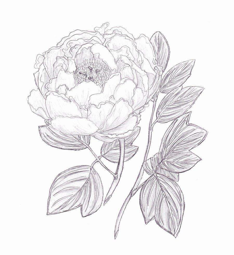 900x979 Drawn Peony Sketch