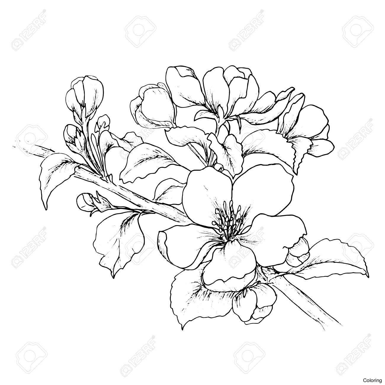 1300x1300 Drawn Sakura Blossom Japenese 7 Cherry Drawings Coloring Pin 15 2f