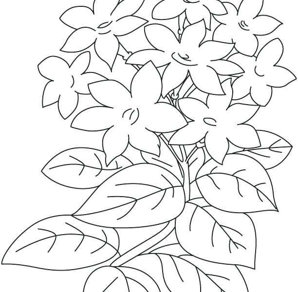 612x600 Jasmine Flower Coloring Pages Jasmine Flower Coloring Pages
