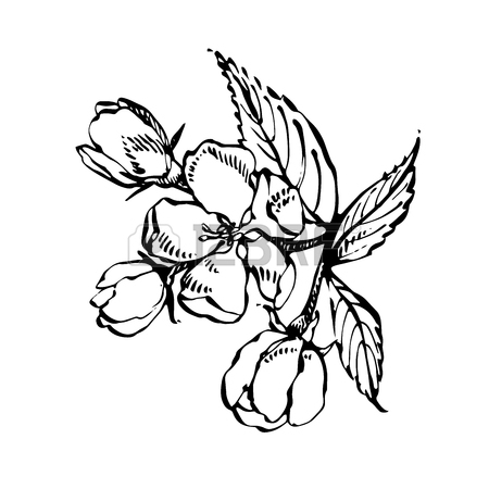 Jasmine Flower Botanical Drawing