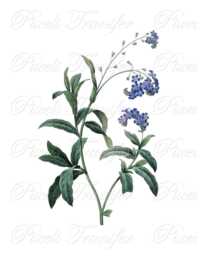 750x971 Forget Me Not Instant Download, Digital Image Botanical