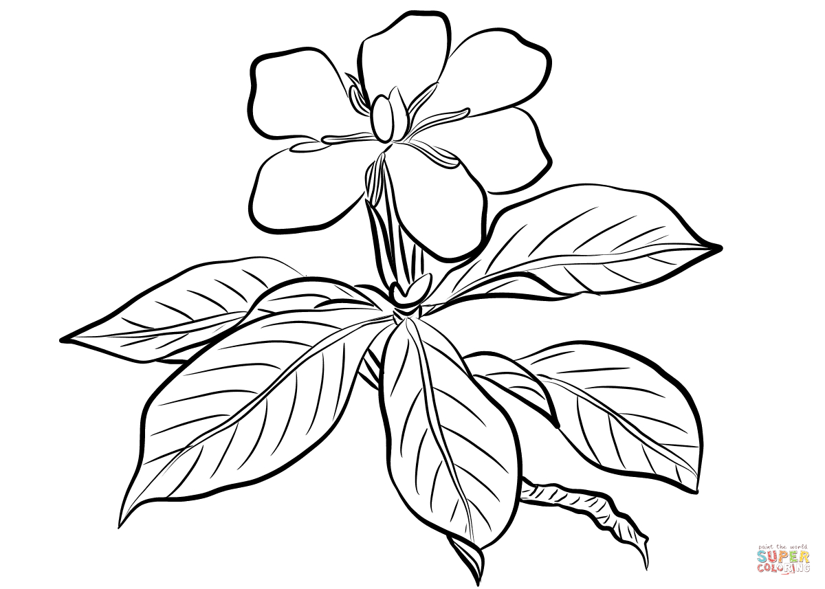 Jasmine Flower Botanical Drawing At Getdrawings Free For