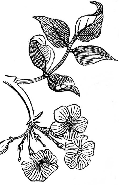 414x640 Jasmine (Illustration) Botanicals Jasmine