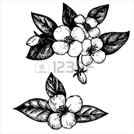 450x450 Jasmine Flowers And Leaves, Hand Drawn Vintage Vector Illustration