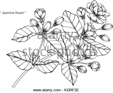390x320 Jasmine Flower Decoration Silhouette Stock Vector Art
