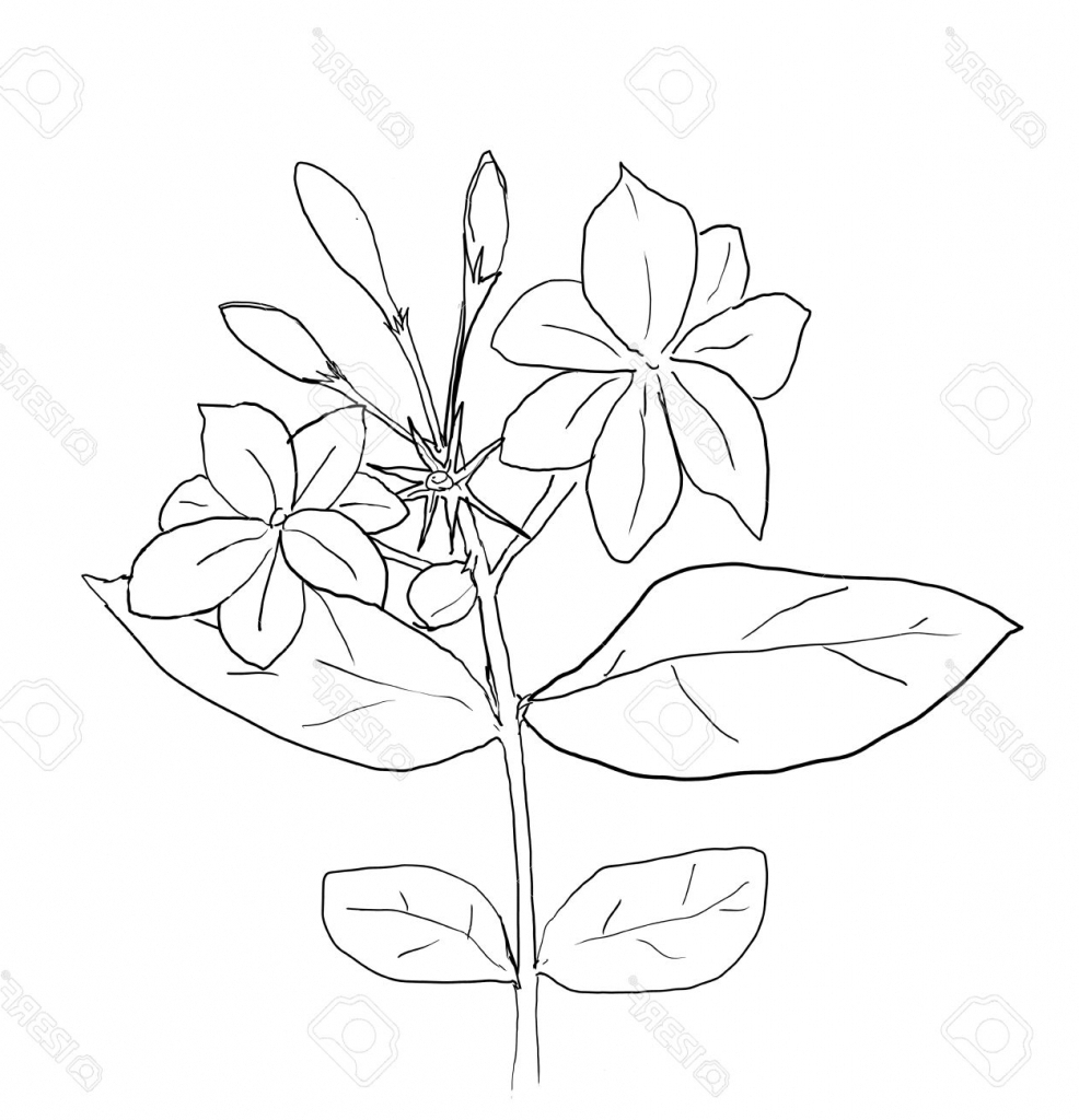 Line Drawing Jasmine Flower : Jasmine flower drawing at getdrawings free for