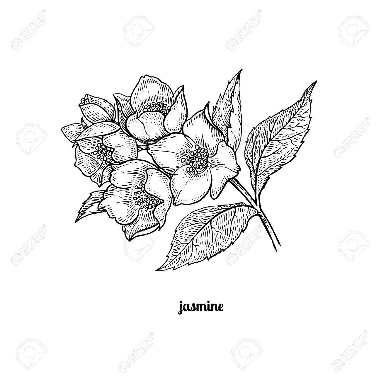 Jasmine Flower Drawing at GetDrawings   Free download