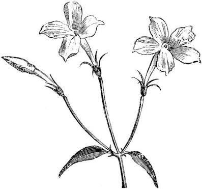 Jasmine Flower Drawing Tattoo