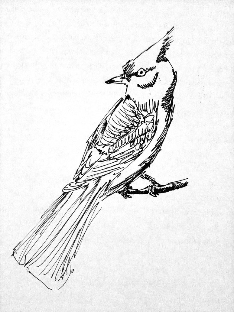 774x1032 Blue Jay Sketch By Mikeleeorg