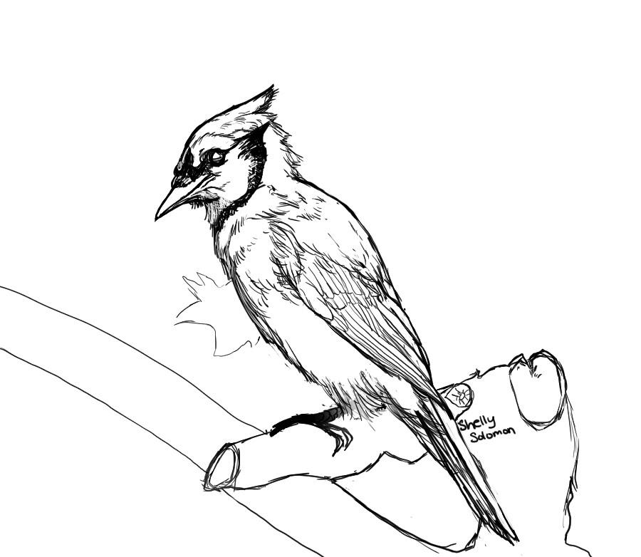 900x782 Blue Jay Part 1 Inking