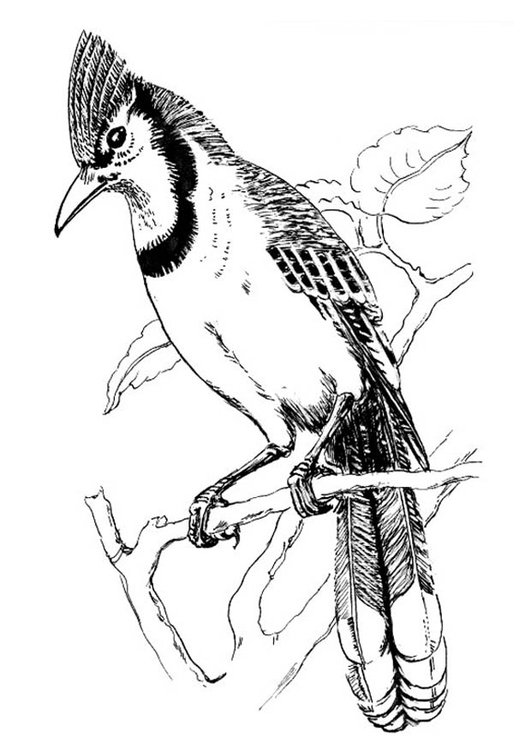 531x750 Coloring Page Bird