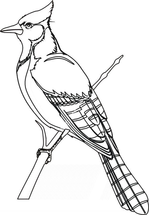 600x867 Bird Coloring Pages Blue Jay Bird Study Jay, Bird