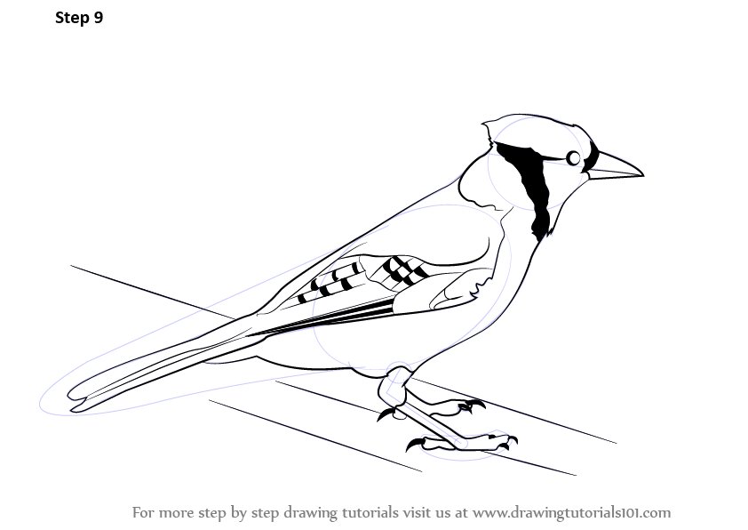 842x596 Learn How To Draw A Blue Jay (Birds) Step By Step Drawing Tutorials