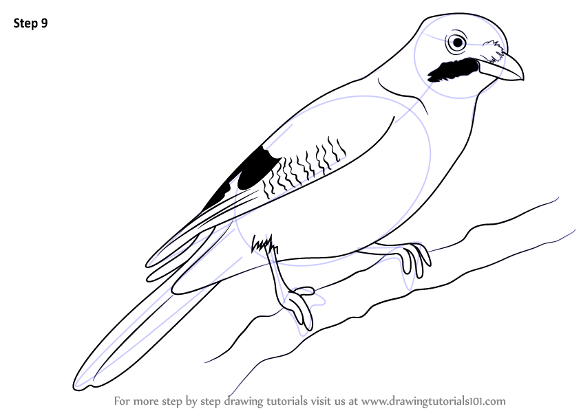 844x598 Learn How To Draw A Jay (Birds) Step By Step Drawing Tutorials