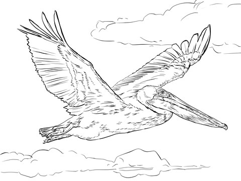 480x360 Brown Pelican In Flight Coloring Page Free Printable Coloring Pages
