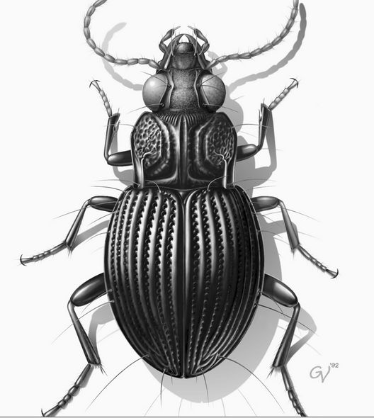 June Bug Drawing at GetDrawings com | Free for personal use