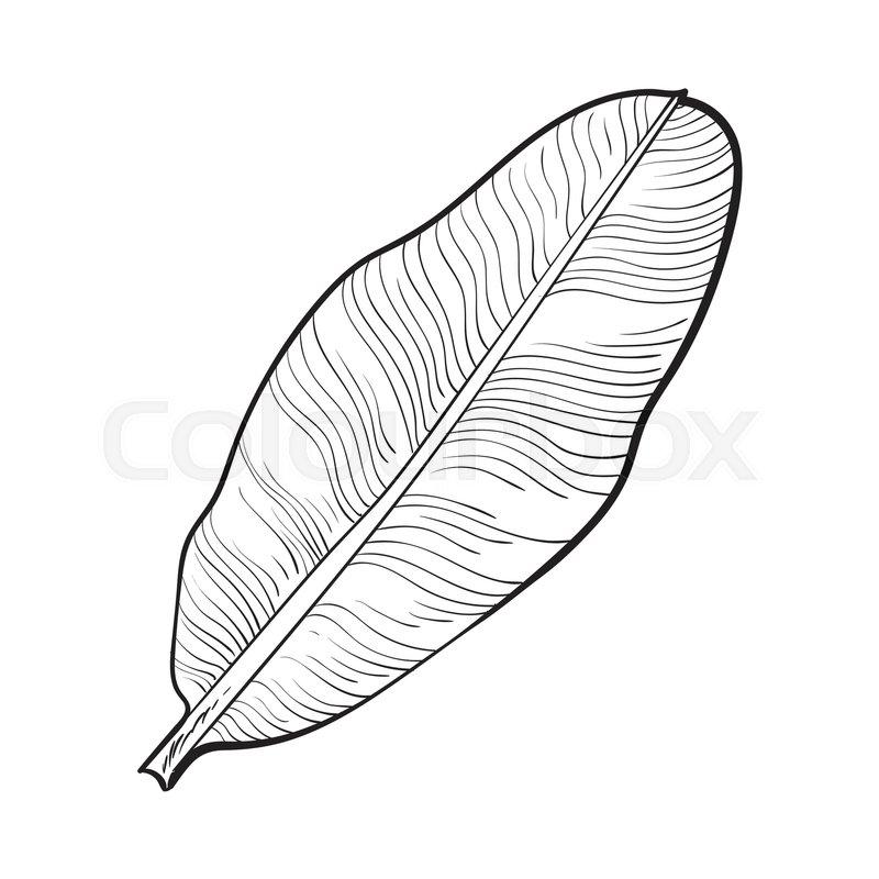 800x800 Full Fresh Leaf Of Banana Palm Tree, Sketch Style Vector