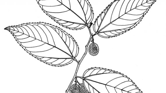 570x320 Drawings Of Trees With Leaves Jungle Tree Leaves Ngorongclub