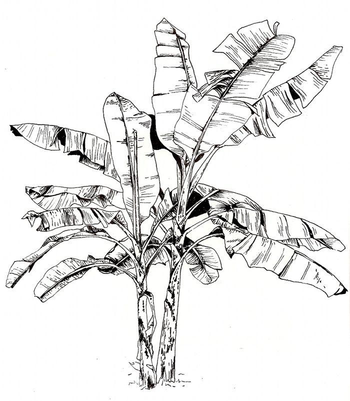 700x802 Image Result For Banana Tree Illustration Leaf