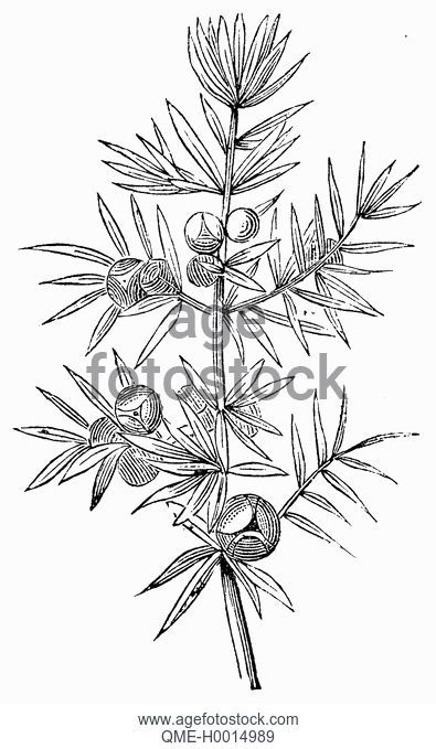 395x679 Inflorescences Of Australian Pine Casuarina Equisetifolia, Drawing