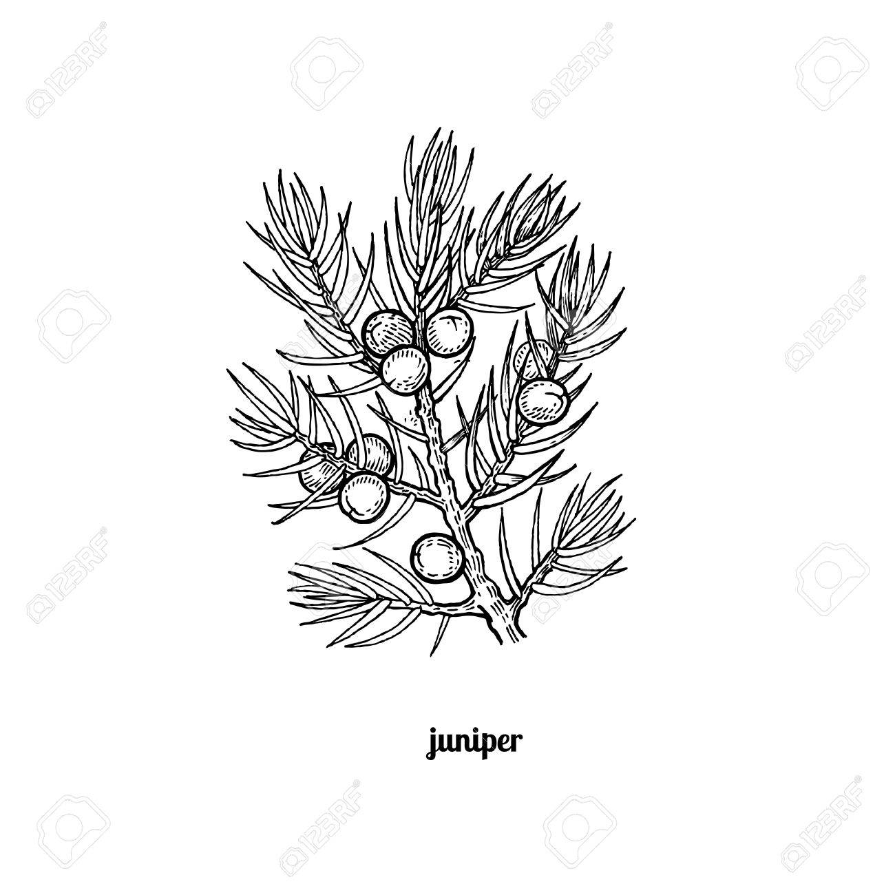 1300x1300 Tree Branch With Juniper Berries. Vector Illustration Isolated