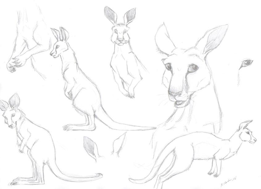 846x612 Kangaroo Sketches By Azerane