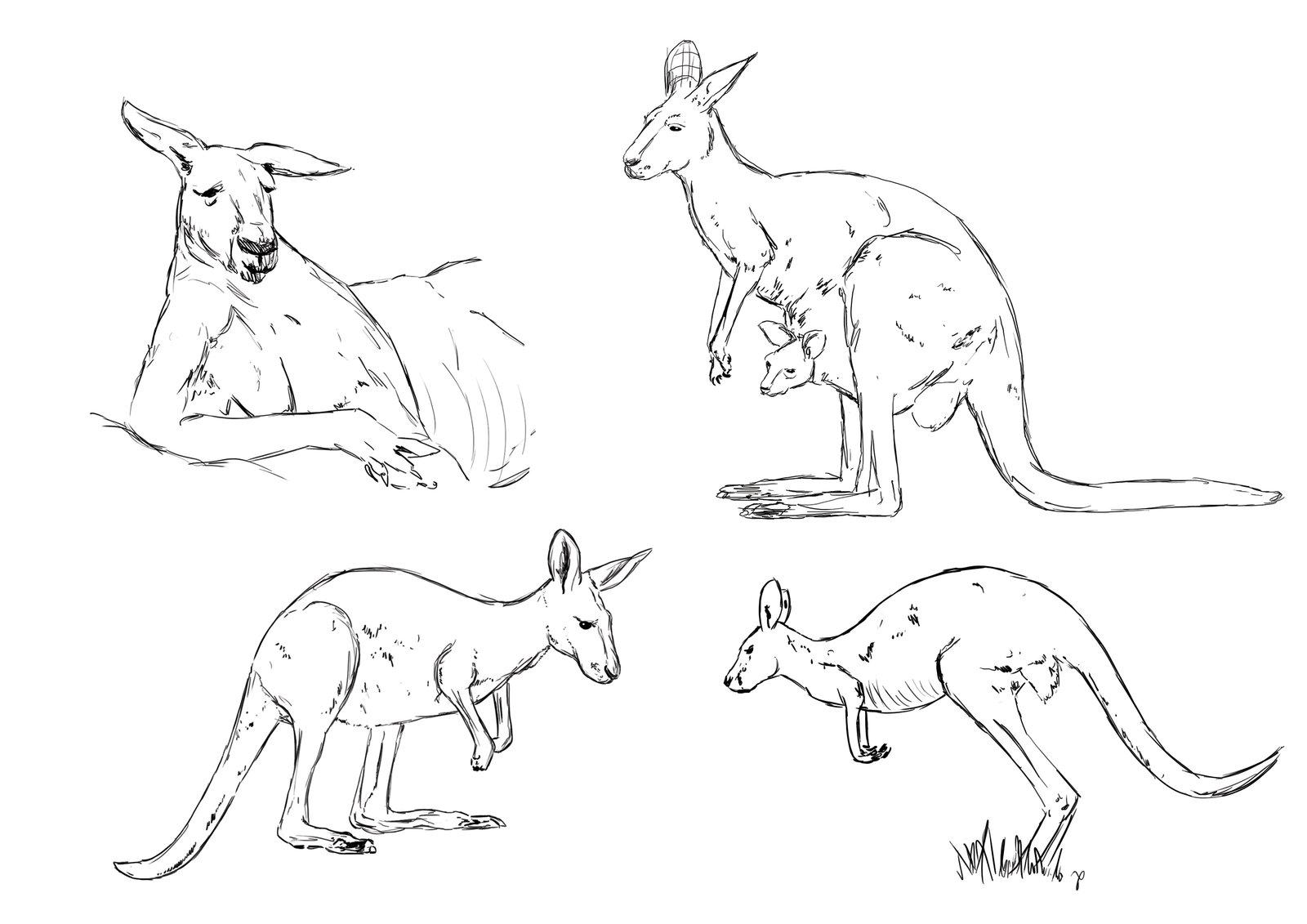 1600x1131 Kangaroo Sketches By Vallkyr