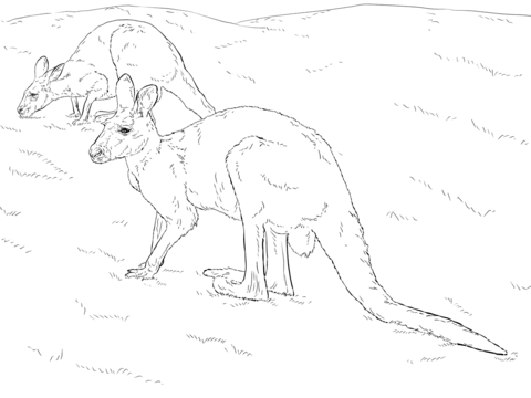 480x360 Two Red Kangaroos Coloring Page Free Printable Pages