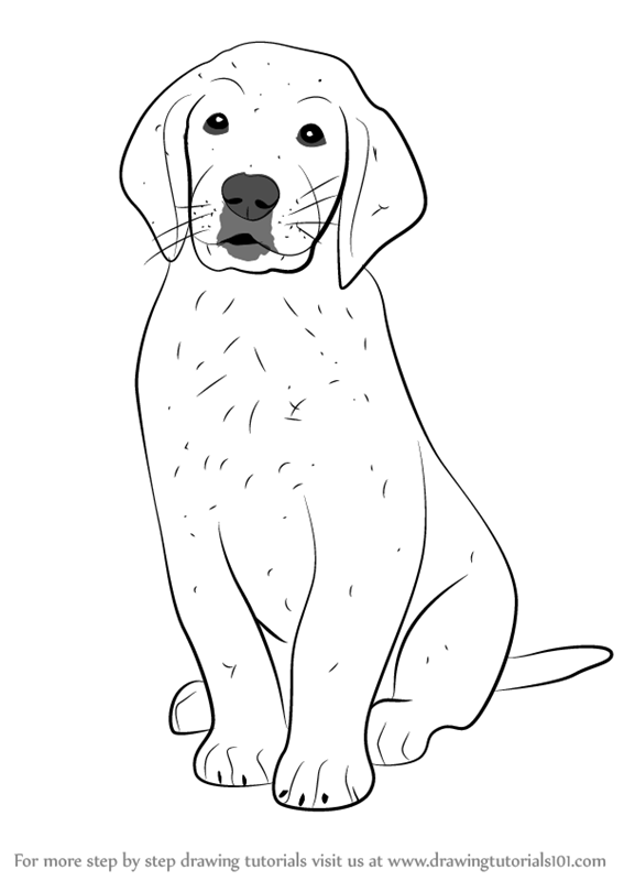 567x800 Learn How To Draw Golden Retriever Puppy (Dogs) Step By Step