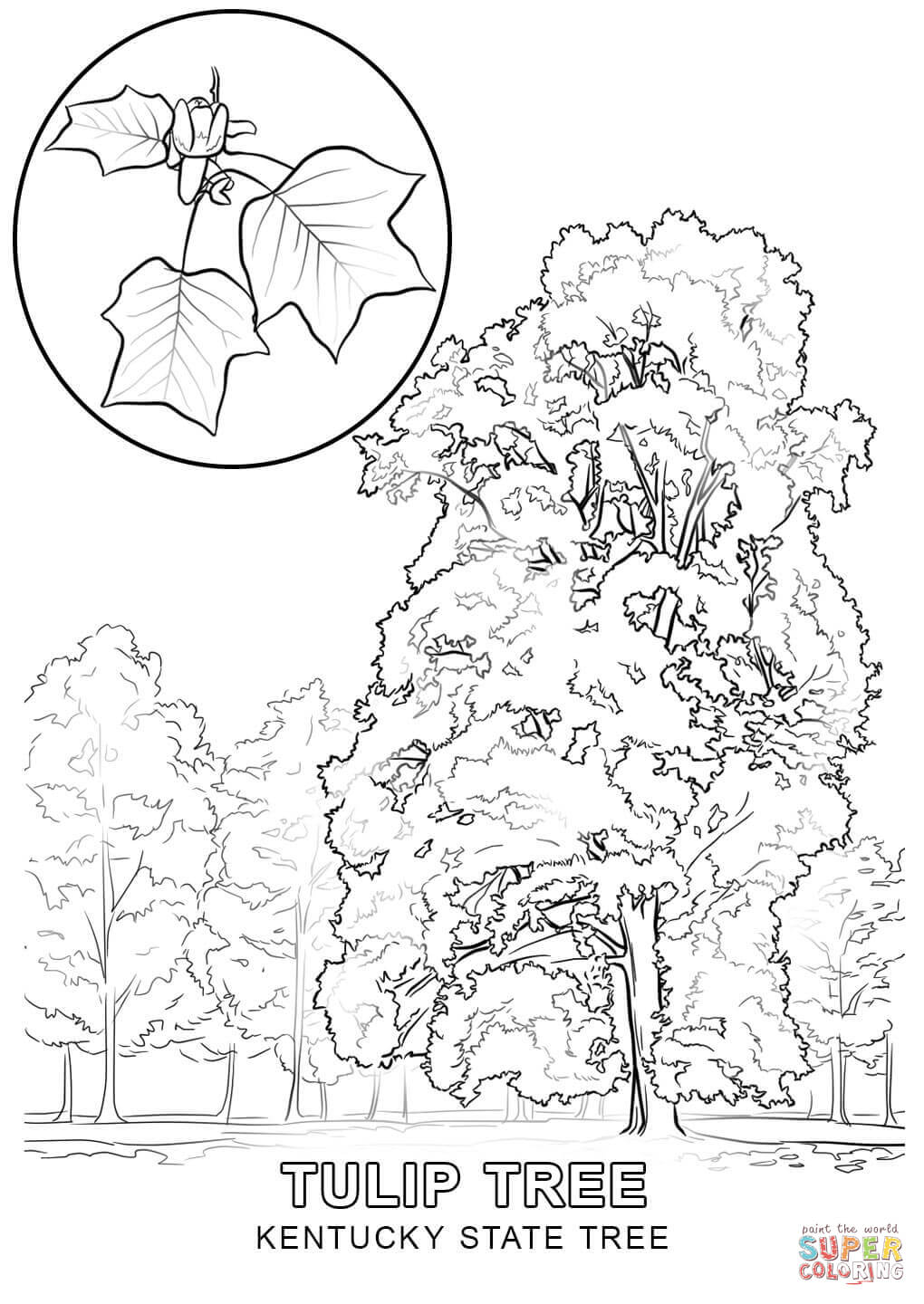 1020x1440 Kentucky State Tree Tulip Poplar Coloring Sheet Kentucky's State