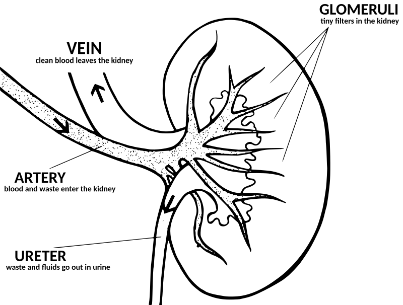 Kidney Drawing At Getdrawings Free For Personal Use Kidney