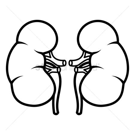 450x450 Free Kidneys Stock Vectors Stockunlimited