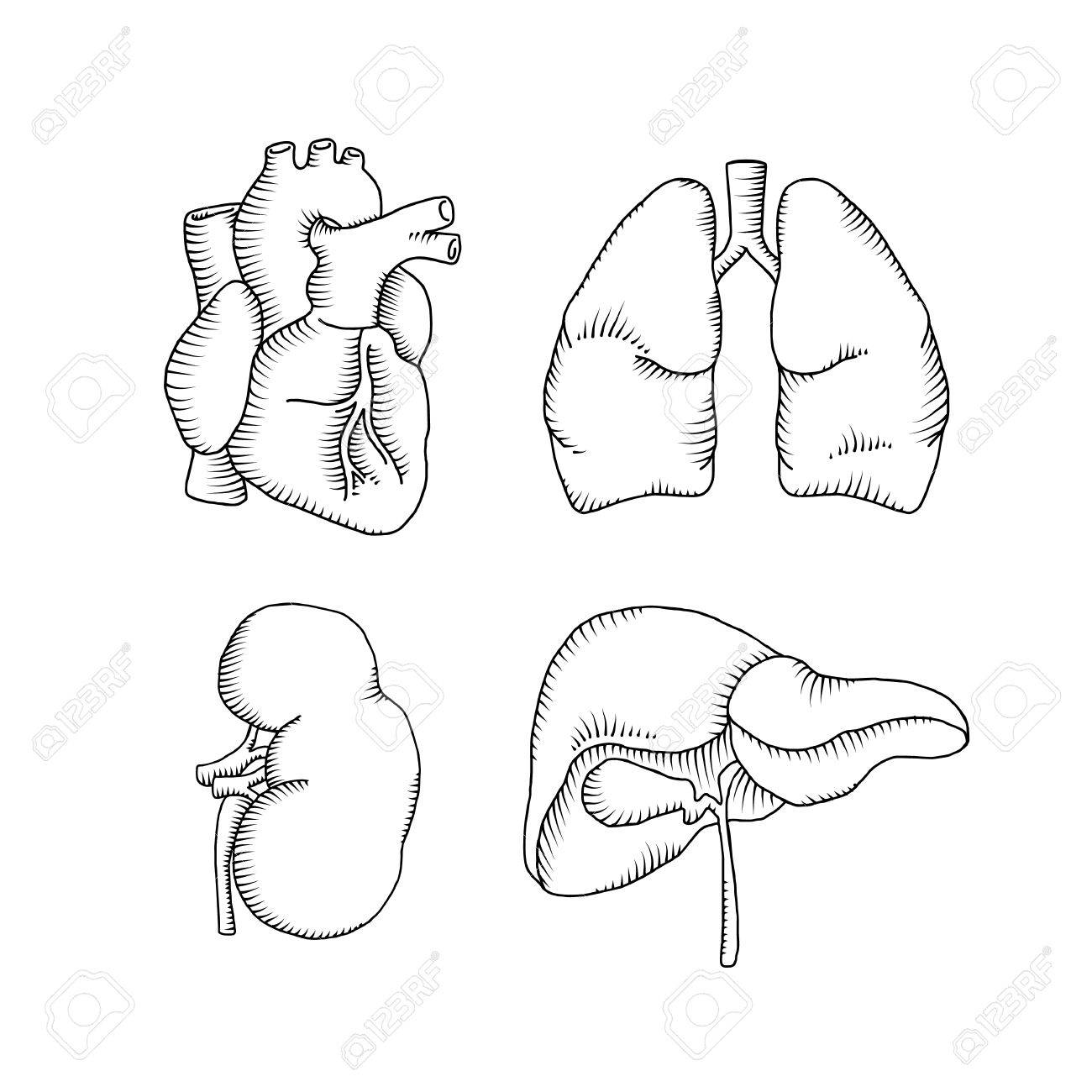 1300x1300 Human Organs. Heart Liver Kidneys Lungs. Vector Illustration