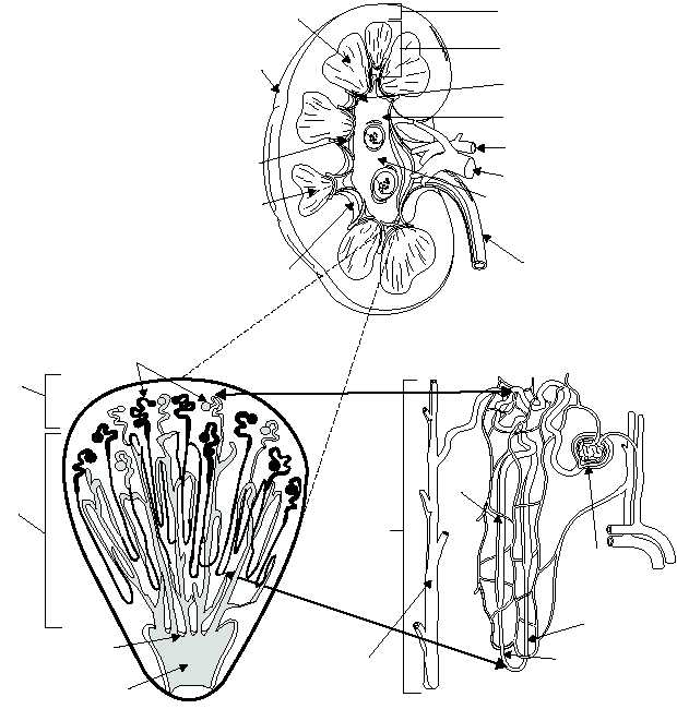 620x650 Principal Parts Of The Kidney