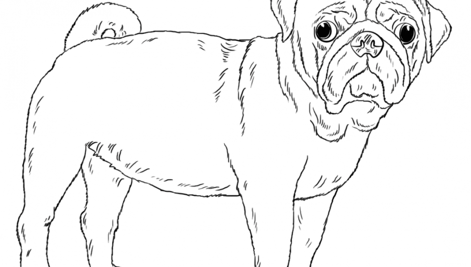 960x544 Cute Pug Dog Coloring Page Free Printable Pictures To Color