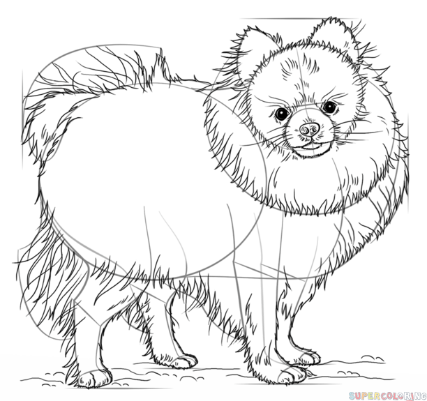 612x575 How To Draw A Pomeranian Dog Step By Step Drawing Tutorials