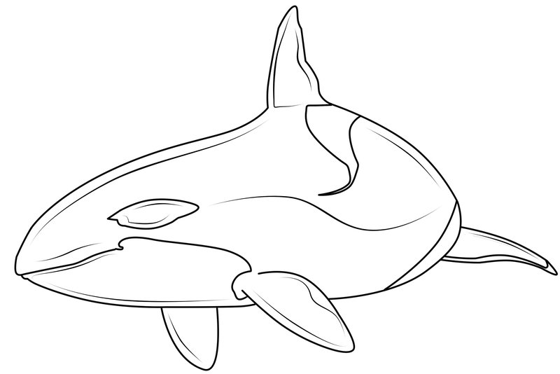 800x534 Killer Whale Line Drawing