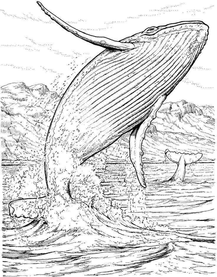 736x939 Killer Whale Clipart Color