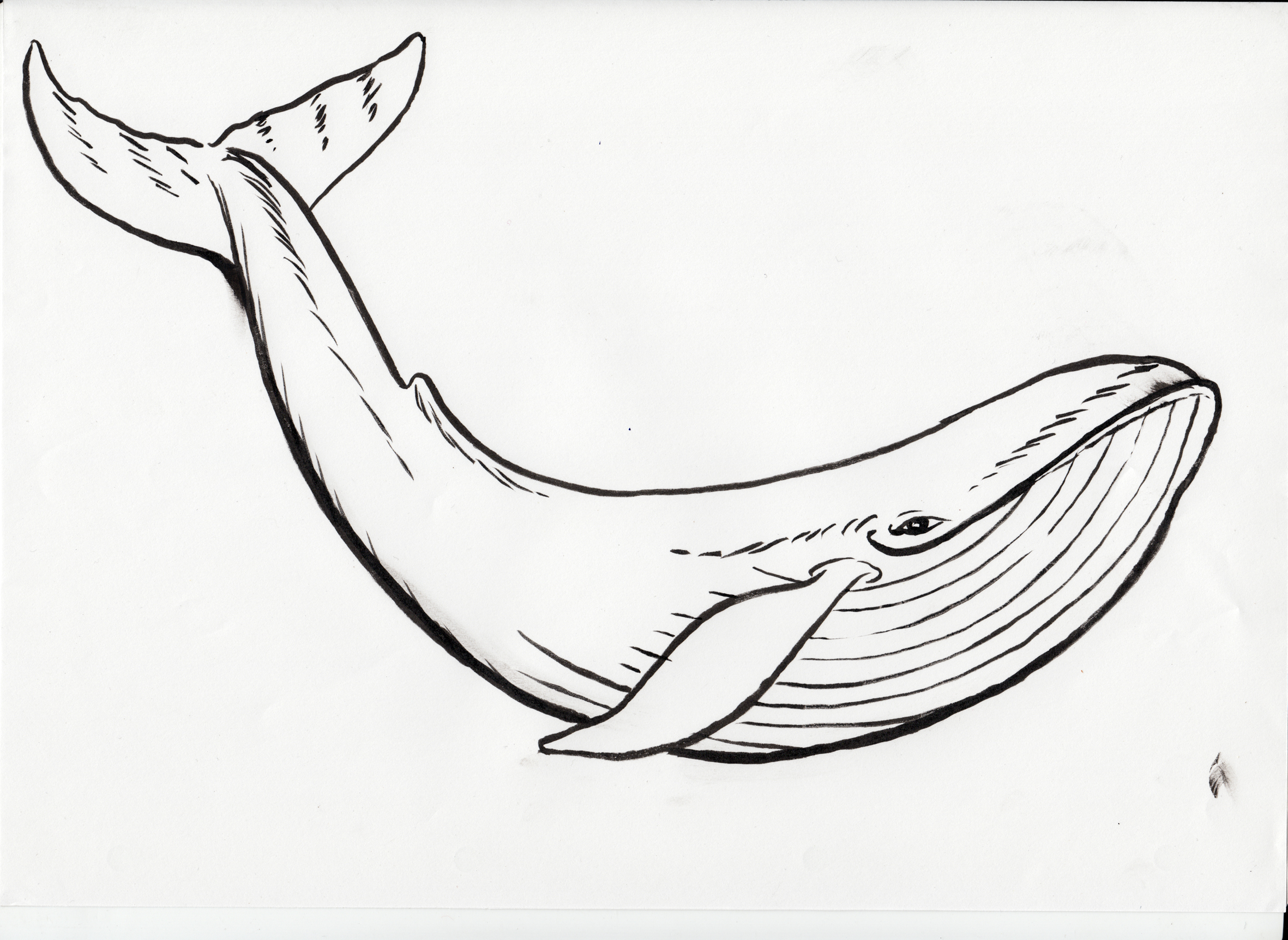 2362x1724 humpback sketch my passion pinterest sketches drawings and - Whale Outline