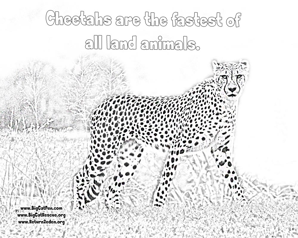 1000x800 Online Cheetah Coloring Pages Lexilu Cheetahs