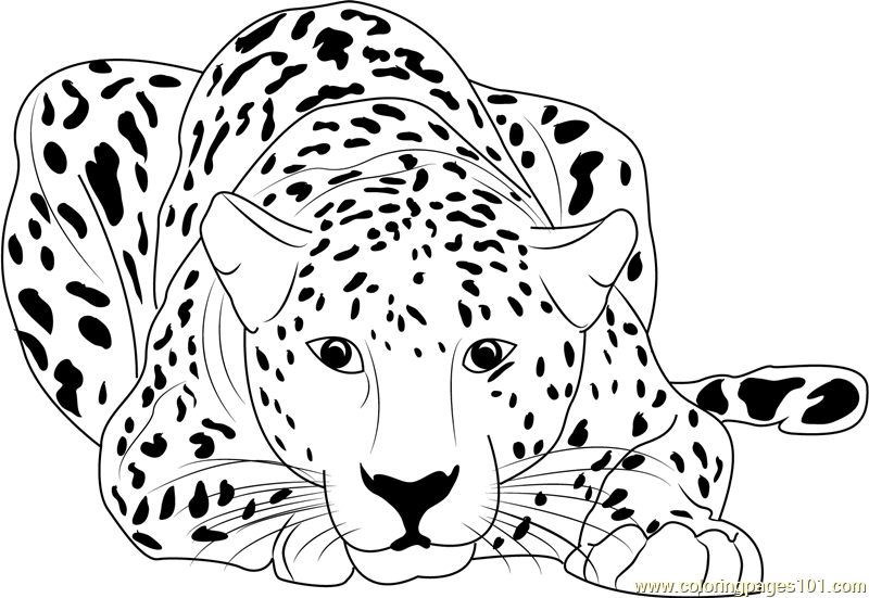 800x551 Cheetah Coloring Pages