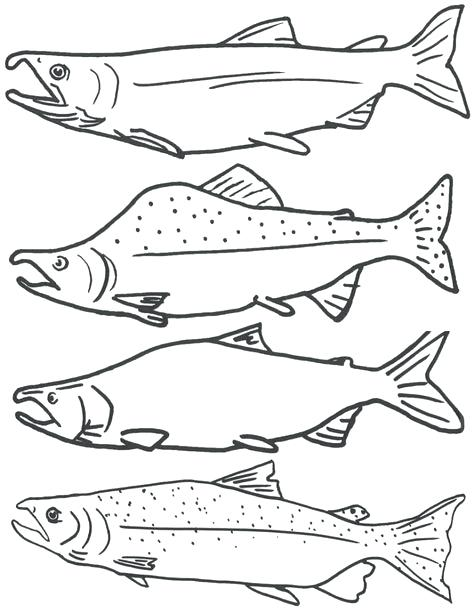 474x613 Good Salmon Coloring Pages Crayola Photo Kids Species Information