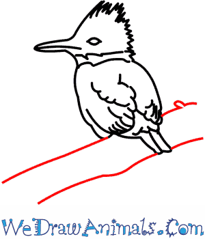 300x350 How To Draw A Belted Kingfisher