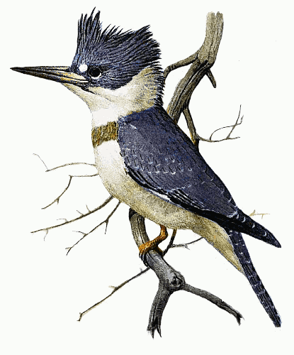 415x500 Belted Kingfisher