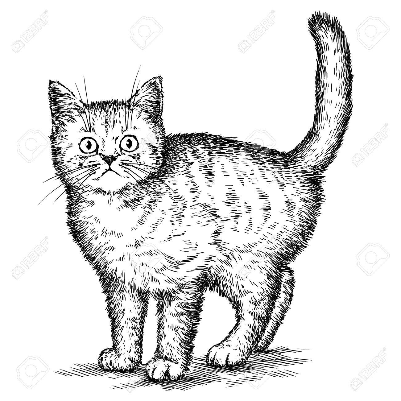 1300x1300 Engrave Isolated Kitten Illustration Sketch. Linear Art Stock