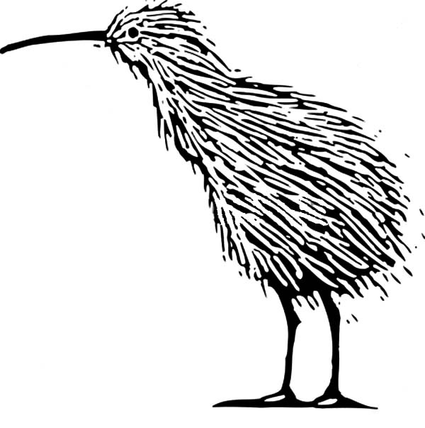 600x603 Alpha Male Kiwi Bird Coloring Pages